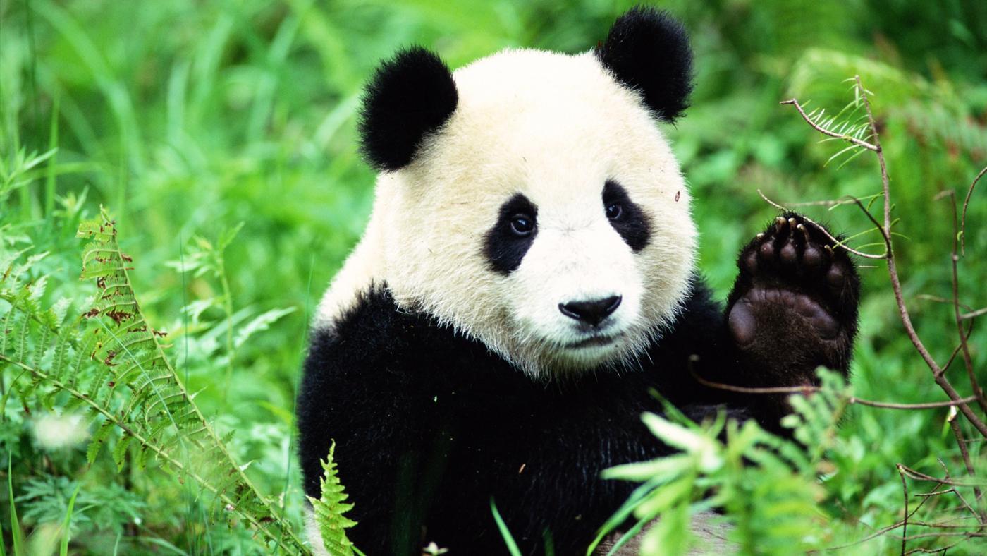 Panda WNF